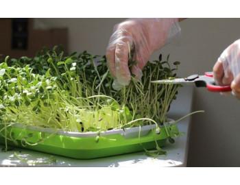 Microgreens Growing Chart