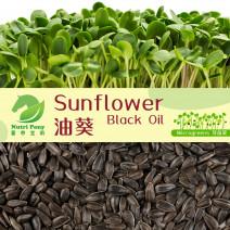 Black Oil Sunflower Microgreens Seeds